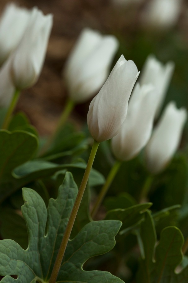 bloodroot-in-the-morning