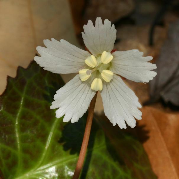shortia-galacifolia-single-from-55