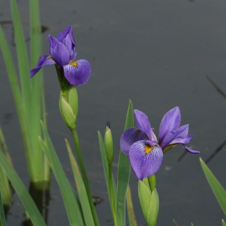 iris-virginica-4x4-from-25